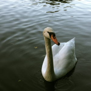 Swan on the Avon River, Stratford, ON