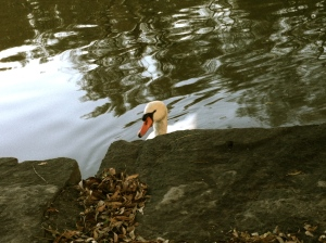 Swan on the Avon RIver  looking for a treat, Stratford, ON